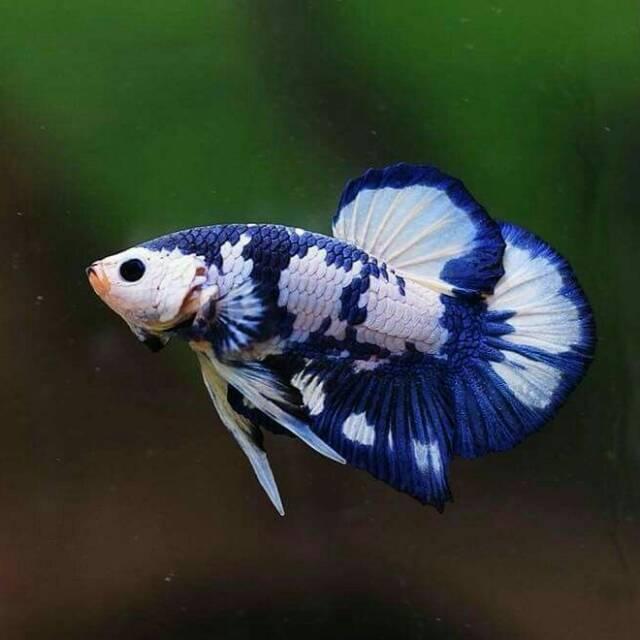 Ikan Cupang Blue Rim Shopee Indonesia