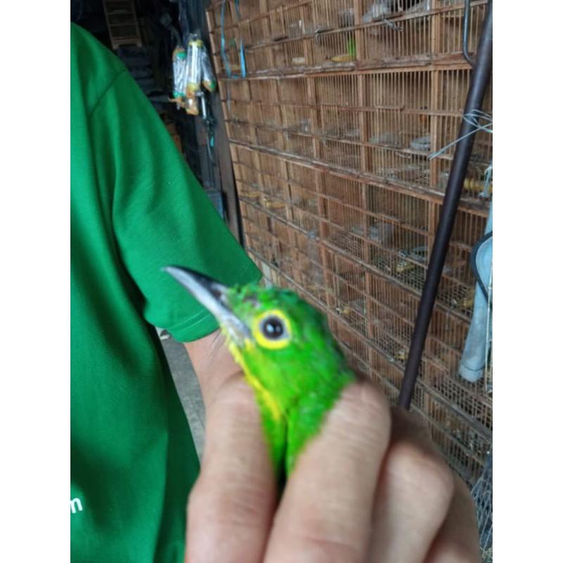 Burung Cucak Hijau Paruh Hitam Shopee Indonesia