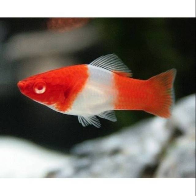 Ikan Pedang Santa Claus Ikan Hias Platy Ikan Aquascape Ikan Cantik Ikan Lucu Shopee Indonesia