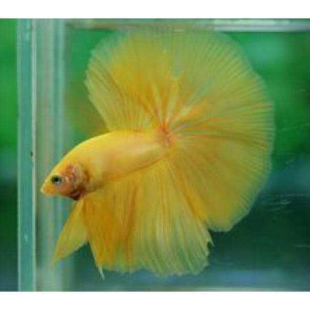 Ikan Cupang Hias Yellow Banana Kuning Polos Halfmoon Jantan Male Bukan Betina Female Kode D5684 Shopee Indonesia