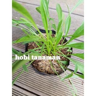 tanaman jombang dandelion