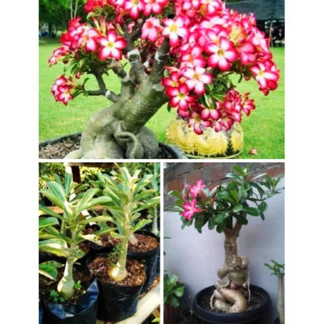 Bibit Cantik Tanaman Bunga Bonsai Adenium Kamboja Jepang Pohon Bonsay Cepat Tumbuh Hias Taman Shopee Indonesia