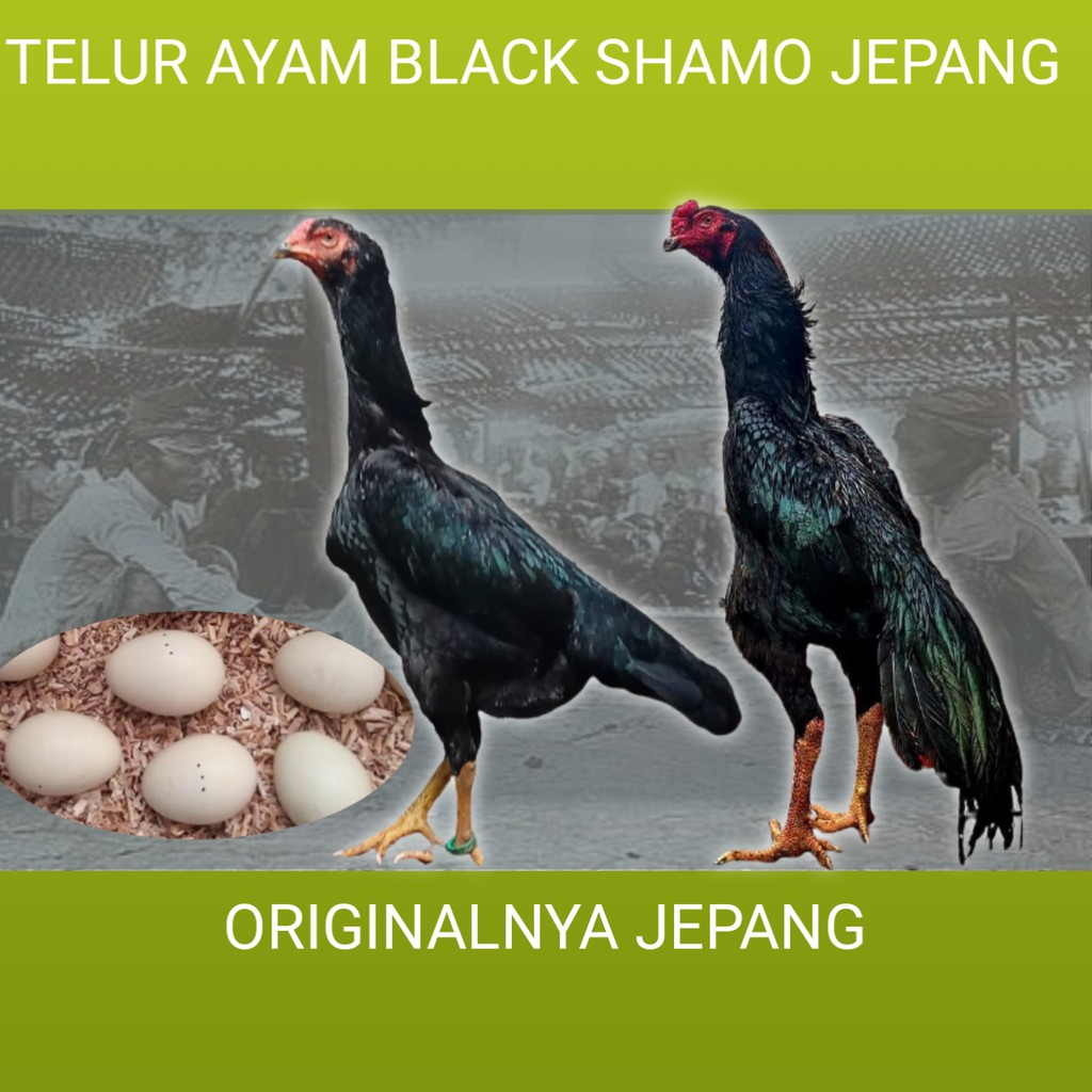 telur ayam bangkok black shamo original