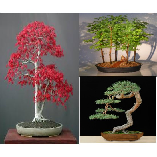 Hot Benih Biji 3 Macam Bonsai Import Pinus Jepang Metasequoia Red Maple