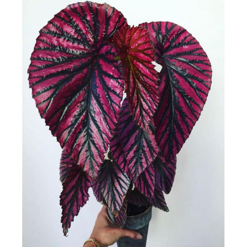 Tanaman hias Begonia Rex Walet-begonia Breverimosa