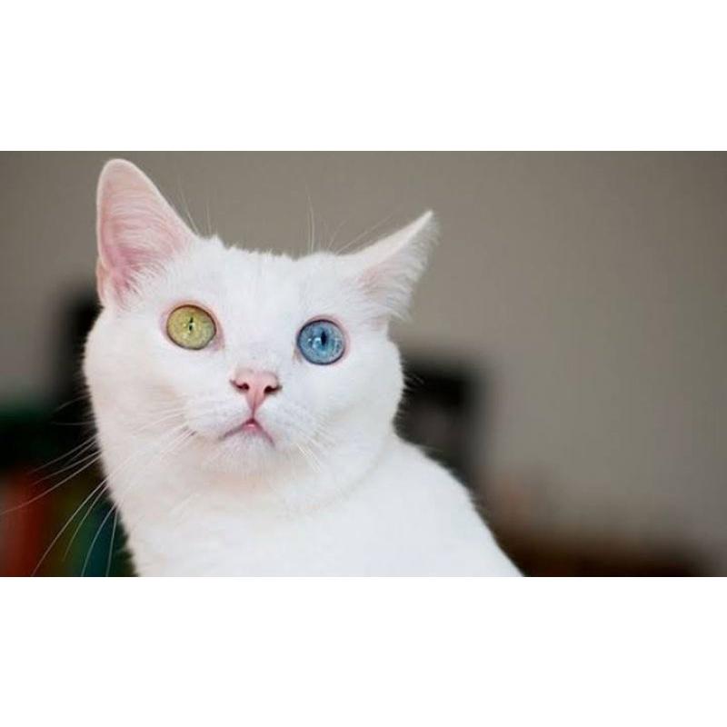 kucing odd eye biru kuning