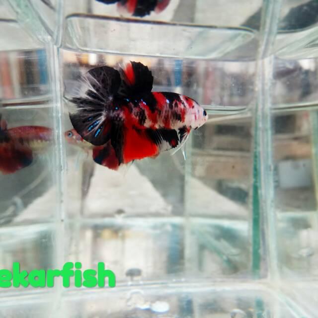 Ikan Cupang Koi Galaxy Warna Msih Naik Mutasi Ikan Sesuai Pic Shopee Indonesia