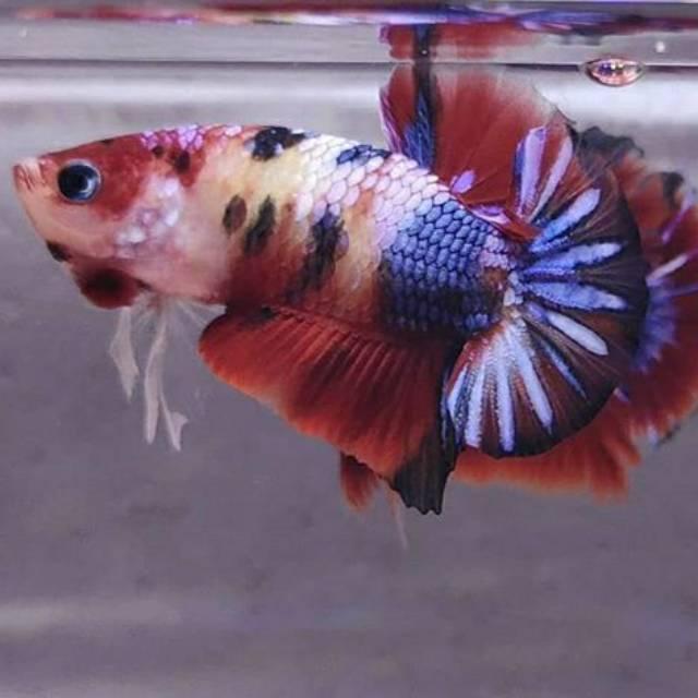 Ikan Cupang Koi Galaxy Shopee Indonesia