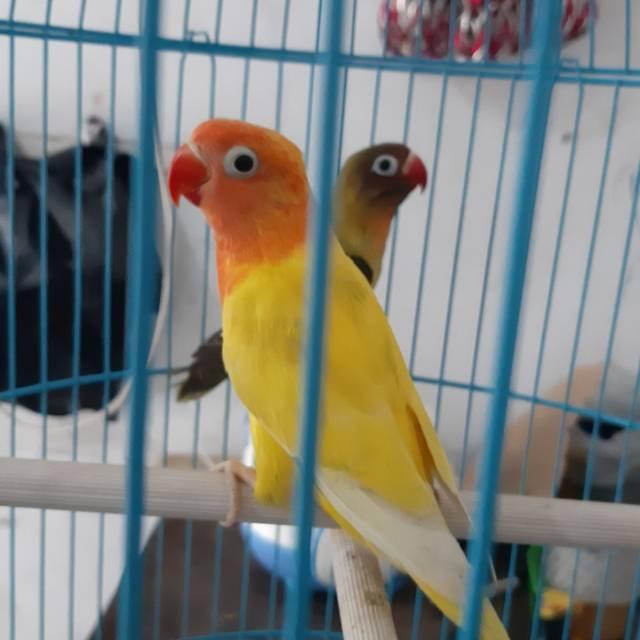Lovebird Lutino Mata Hitam Shopee Indonesia