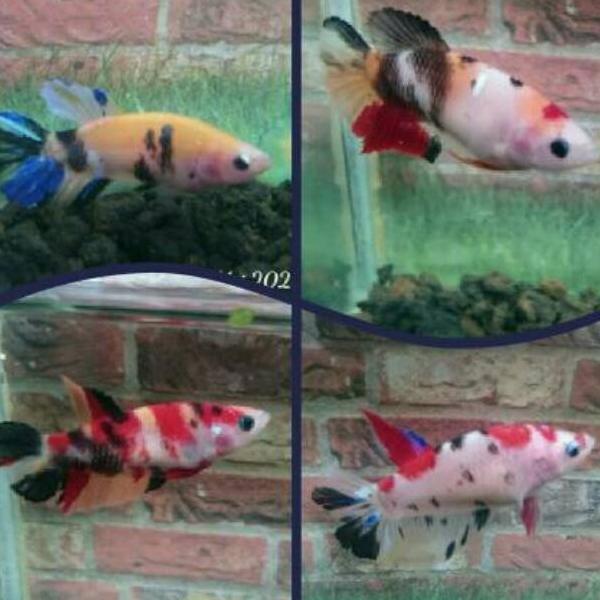 Kode Xb5564 Cupang Female Nemo Multicolor Full Egg Shopee Indonesia