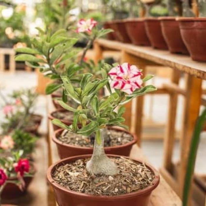 New Pohon Bunga Adenium Kamboja Jepang Bahan Bonsay Plus Pot Tanaman Unggulan Shopee Indonesia