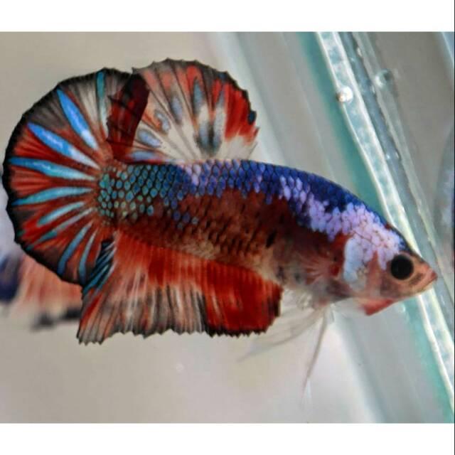 Unduh 65 Gambar Ikan Cupang Medan Super Terpopuler