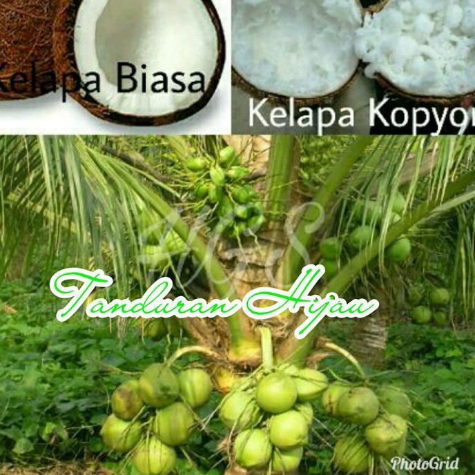 Cups Bibit Kelapa Kopyor Super Genjah Shopee Indonesia