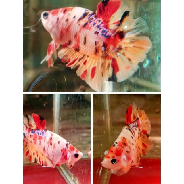Ikan Cupang Nemo Koi Multicolor Berkualitas Ikan Sesuai ...