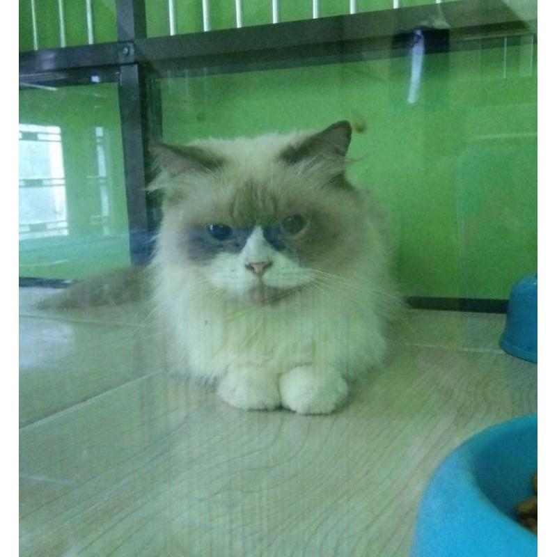kucing kitten persia anggora mix ragdoll himalaya