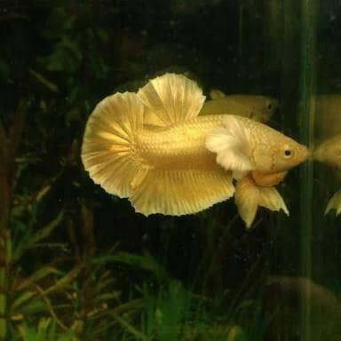 FULL GOLD dumbo big ear import bangkok ikan cupang hias ...