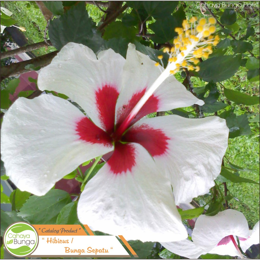 Tanaman Hias Bunga Sepatu Putih Shopee Indonesia Tanaman hias bunga sepatu