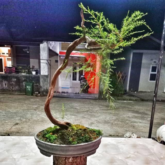 Bonsai Sapu Sapu Cucur Atap Shopee Indonesia