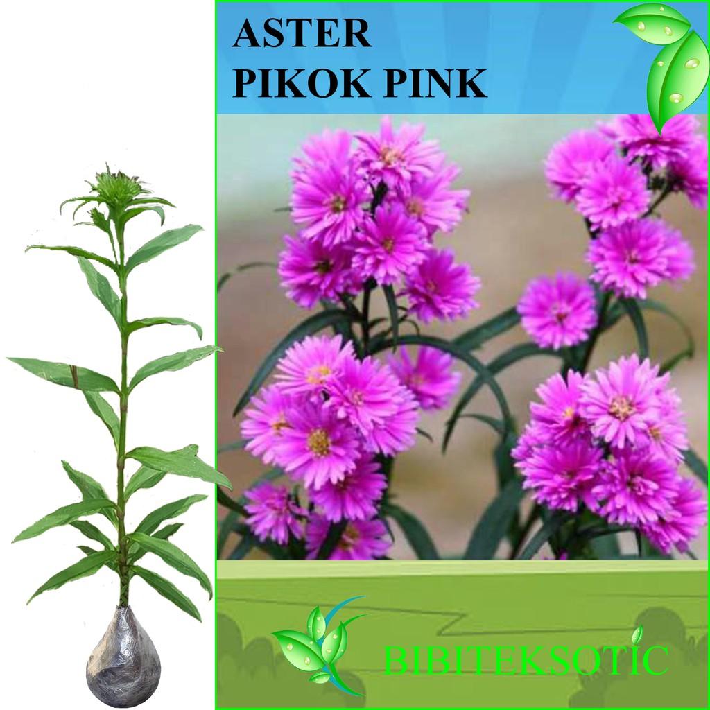 Tanaman Nerium Oleander Pink Shopee Indonesia Bibit Bunga Hibiscus Bicolor Striped