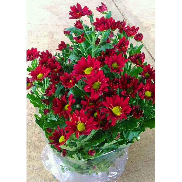 Tanaman Bunga Krisan Merah Shopee Indonesia