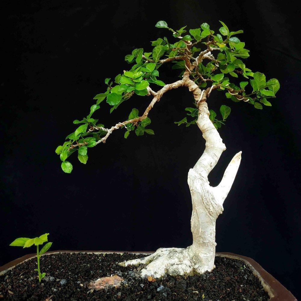 Bonsai Pohon Serut Small Bunjin Unik Antik Tanaman Hias Tools