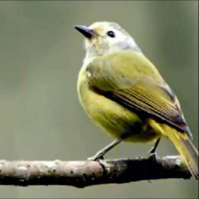 Burung Opior Jawa Jantan
