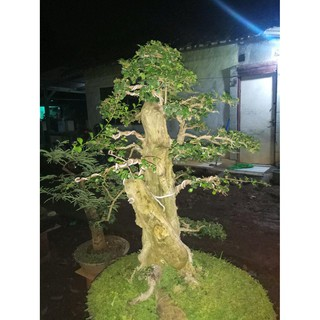 Pohon Serut Bahan Bonsai Berkarakter Shopee Indonesia