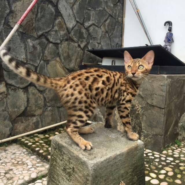 Download 94+  Gambar Kucing Bengal Paling Baru