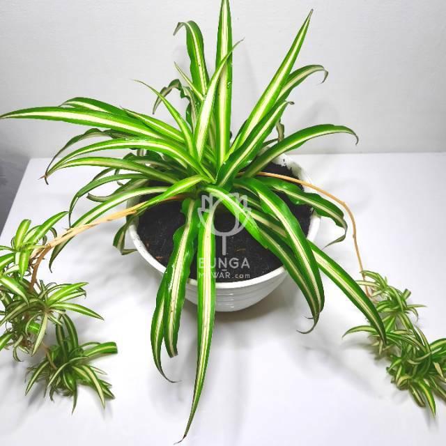 Tanaman Hias Gantung Spider Plant Lili Paris Daun Lurus Shopee Indonesia