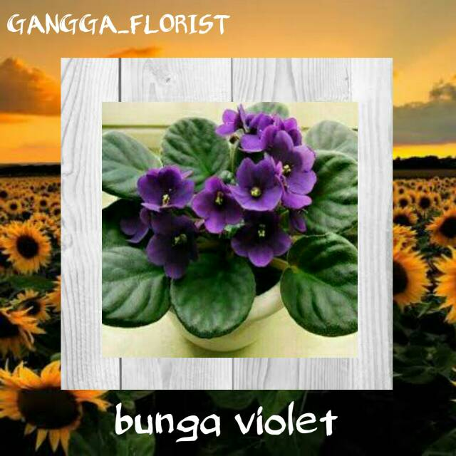 Tanaman Hias Bunga Violet Shopee Indonesia