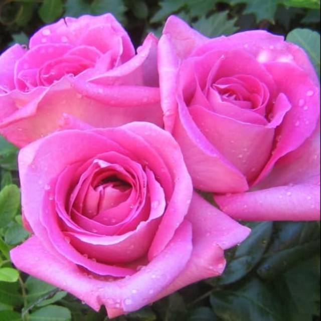 Biji Benih Bunga Mawar Pink Chinese Rose Pink Import 4 Biji