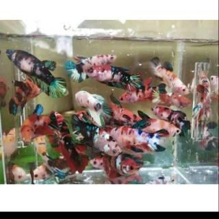 Ikan Cupang Nemo Ikan Cantik Ikan Lucu Ikan Aquascape Cupang Nemo Shopee Indonesia