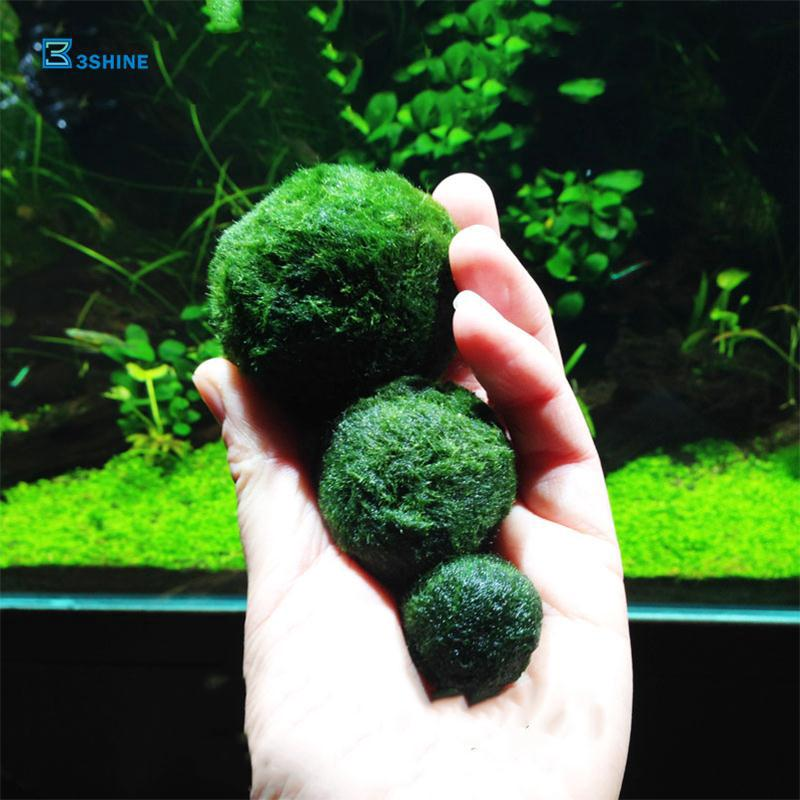 Bola Algae Marimo Moss Cantik Warna Hijau Ukuran 3 4cm Untuk Dekorasi Akuarium