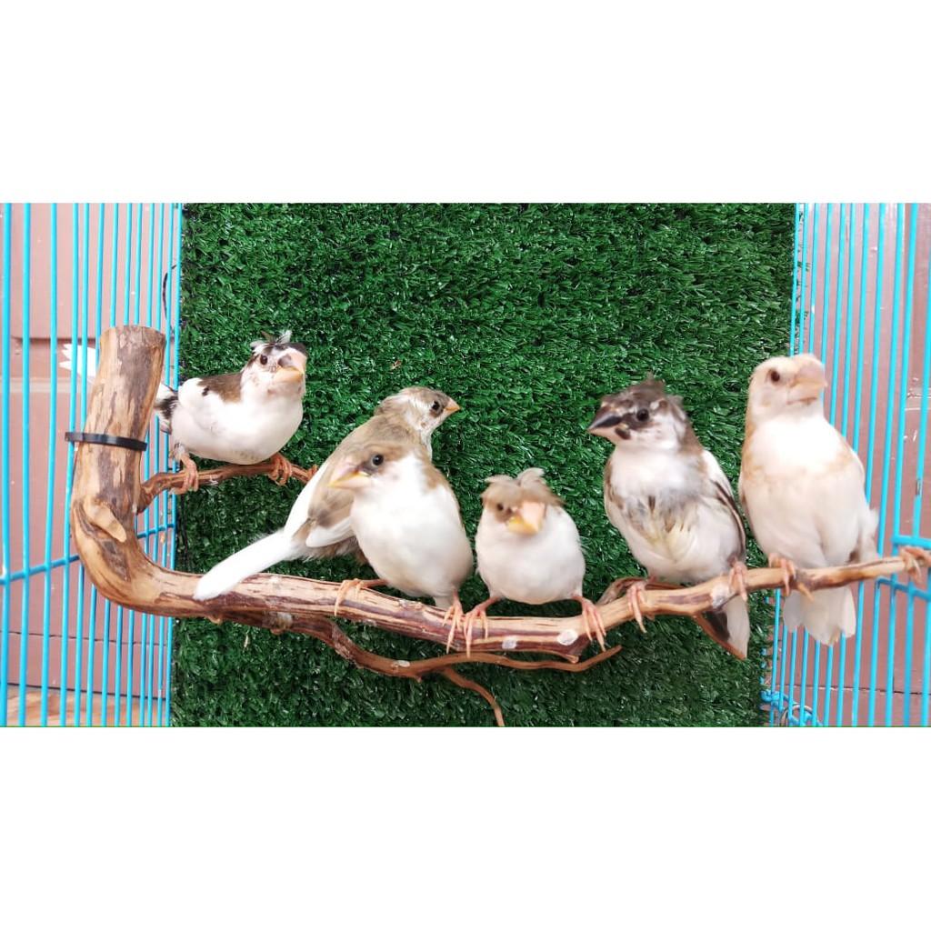 Burung Emprit Jepang Atau Emje Jambul Siap Ternak Shopee Indonesia
