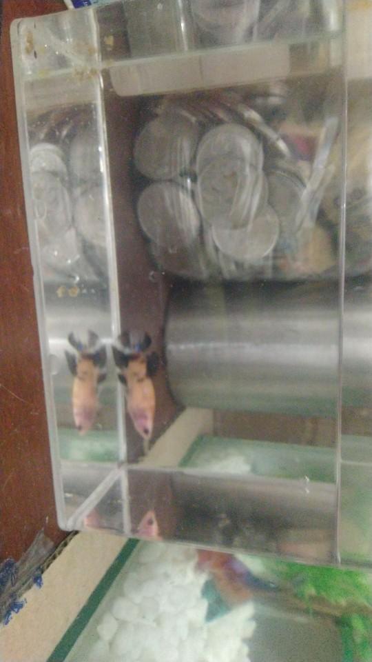 Ikan cupang Giant koi galaxy betina(rendom) | Shopee Indonesia