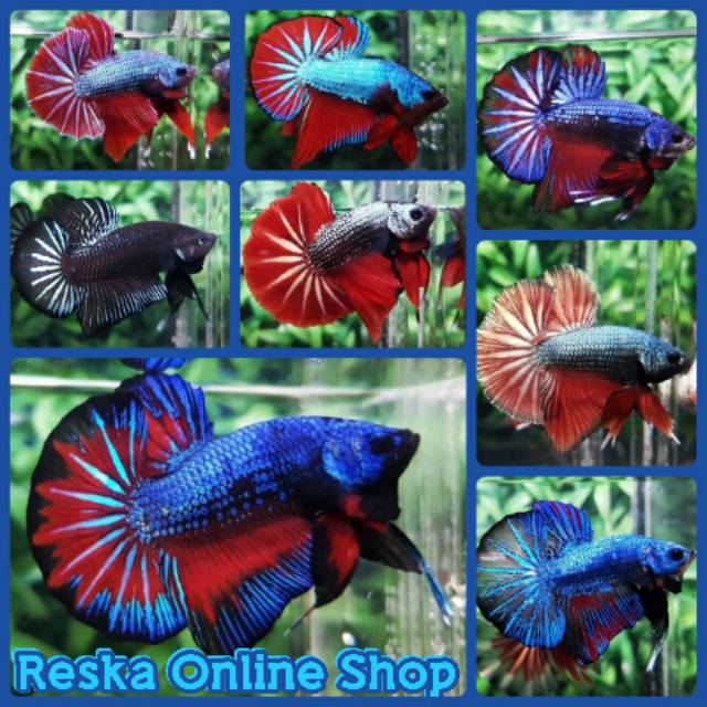 Ikan Cupang Bbl Line Avatar Gordon Proses Mutasi Warna Shopee Indonesia