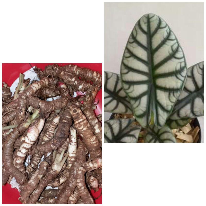 Bonggol alocasia dragon silver dan Scale