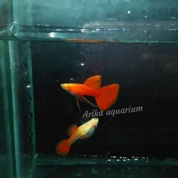 Harga Grosir Ikan guppy albino full red ribbon afr ikan ...