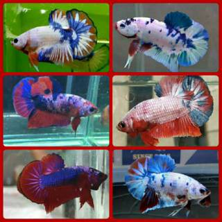 Ikan cupang blue rim import sepasang / 1 pair | Shopee ...