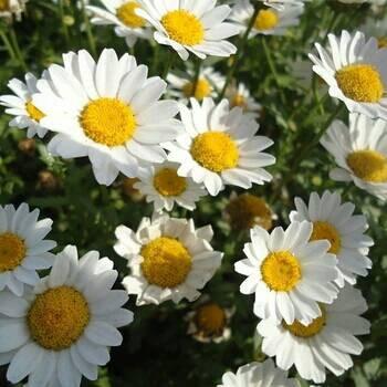 Biji Bunga Daisy Putih White Daisy Seeds Shopee Indonesia