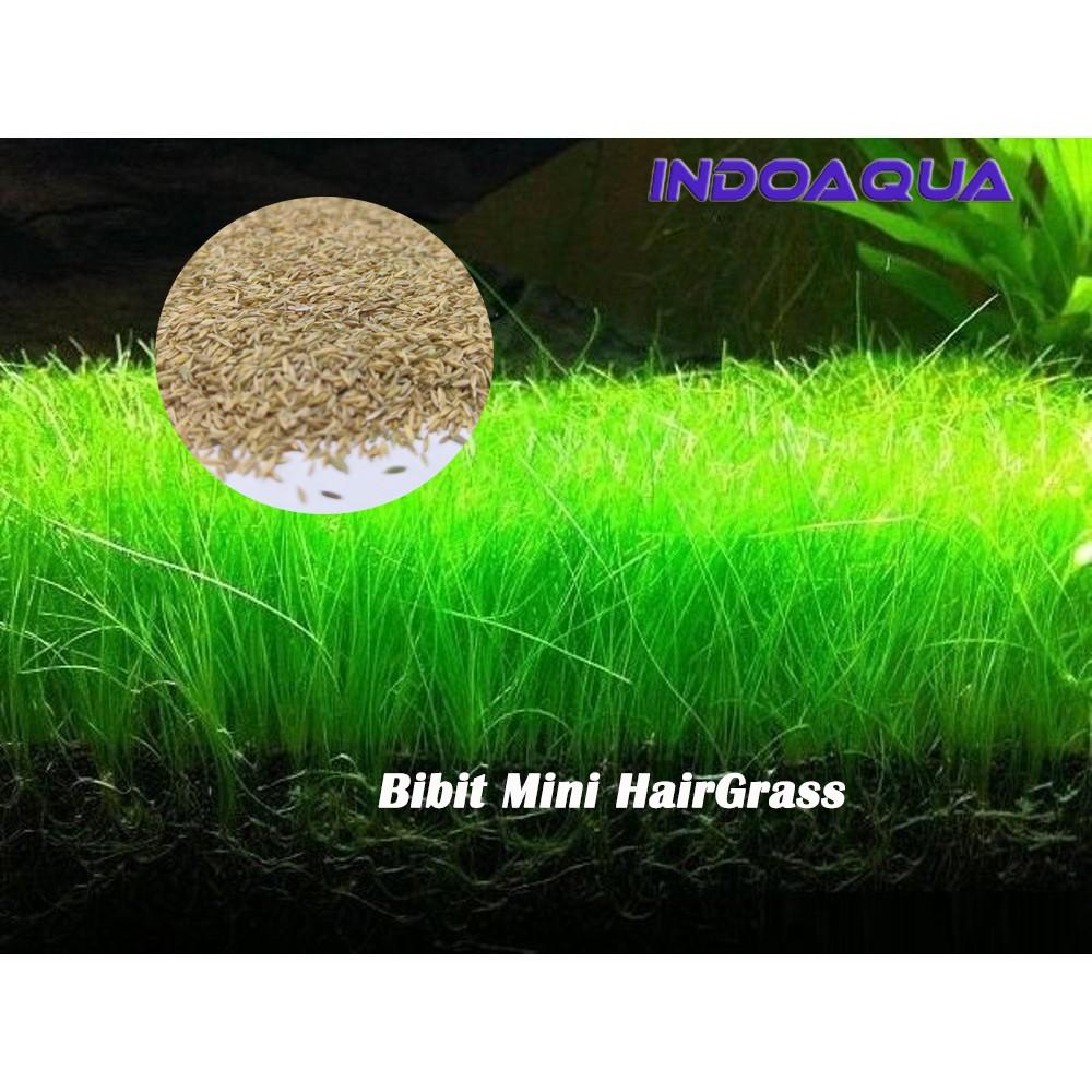 Bibit Tanaman Aquascape Mini Hair Grass Benih Aquascape Mini Hairgrass Shopee Indonesia