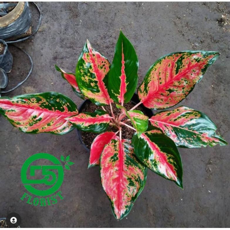 aglonema kocin camelon indukan /aglonema red kocin / tanaman hias aglonema / tanaman aglonema (ART.