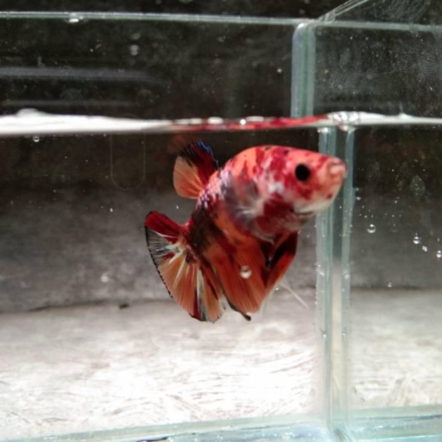 Ikan Cupang Koi Nemo Murah Meriah Bandung Shopee Indonesia