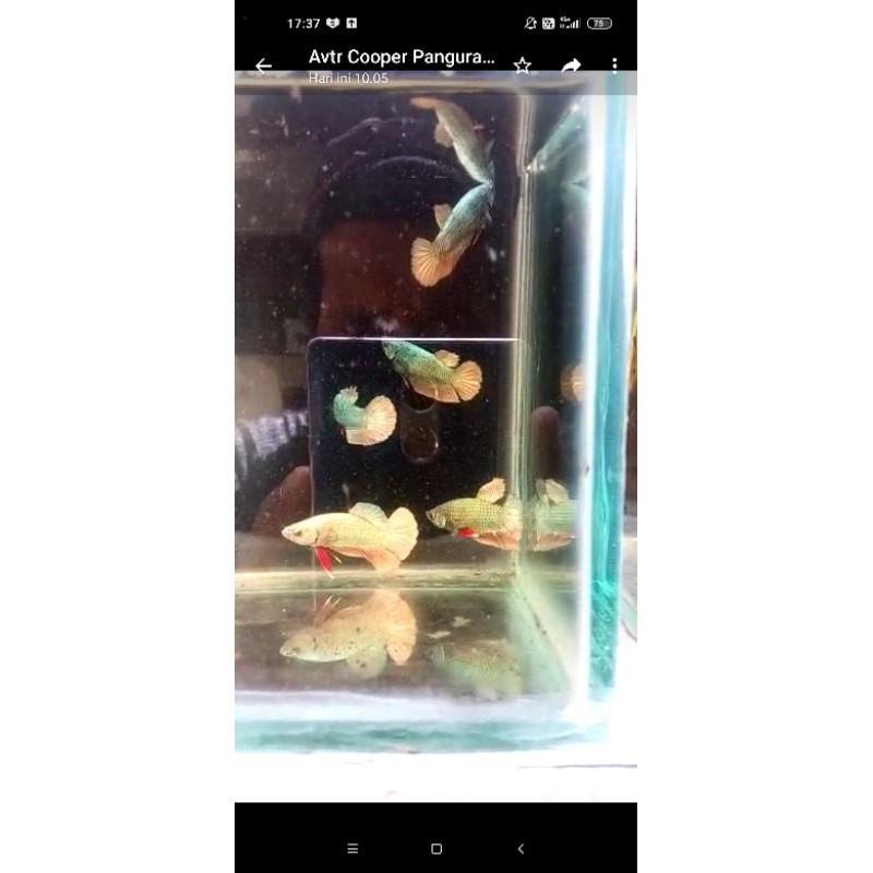 bahan ikan cupang avatar gold cooper