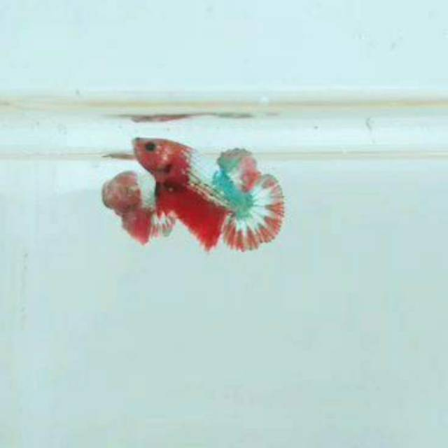 Ikan Cupang Fccp Red Head Shopee Indonesia