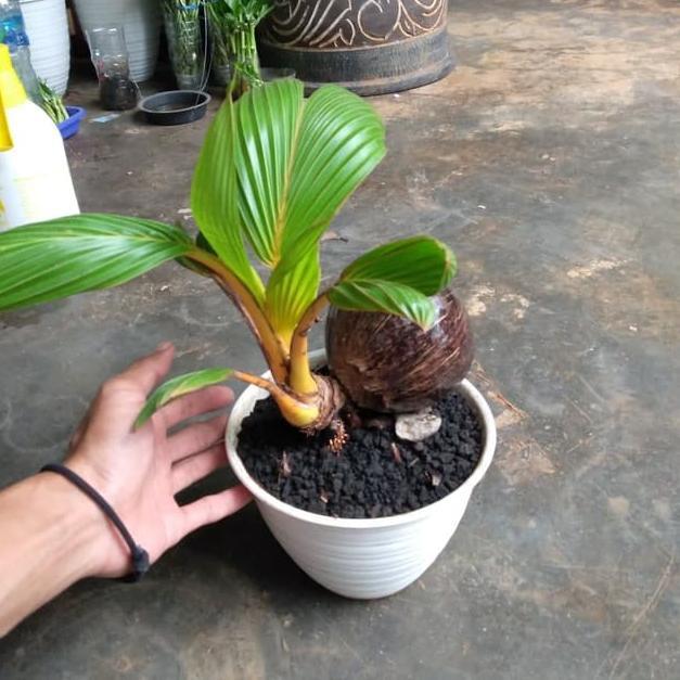 Clr Tanaman Bonsai Kelapa Miniatur Pohon Kelapa Kirim Langsung