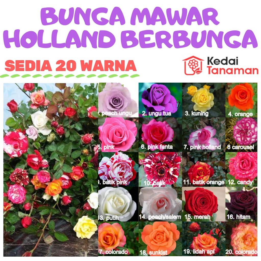 Tanaman Bunga Mawar Hidup Bergaransi Sedia 20 Warna Random Shopee Indonesia