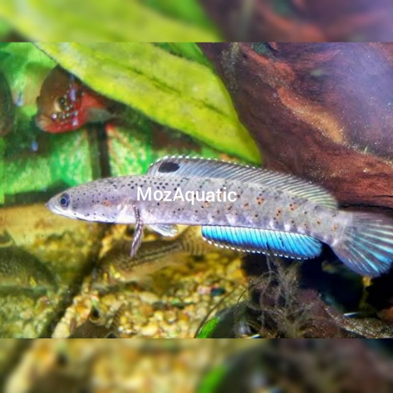 Channa Pulchra 10cm Shopee Indonesia