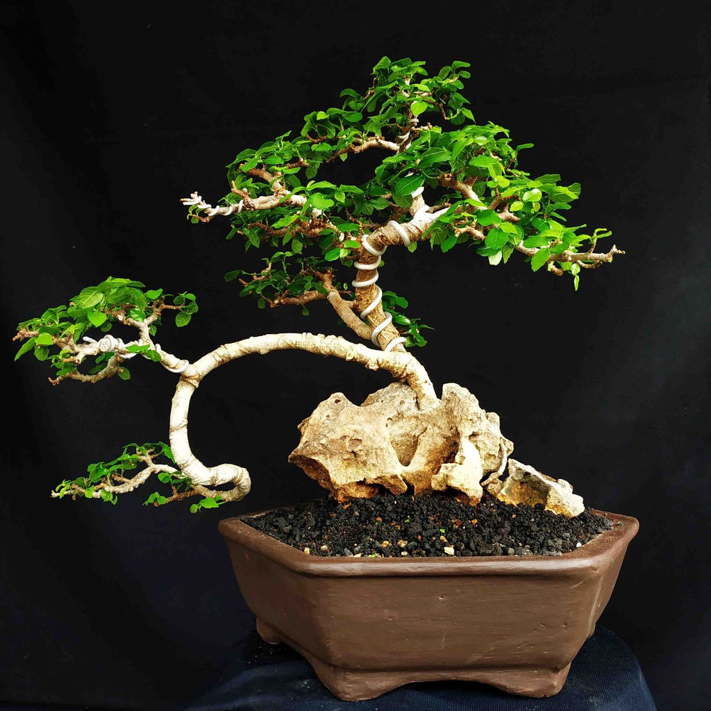 Bonsai Pohon Serut Style On The Rock Semi Cascade Murah Shopee Indonesia