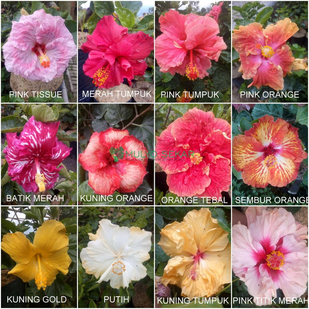 Tanaman Hias Hibiscus Bunga Sepatu Tumpuk Shopee Indonesia